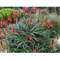 Comment j'ai guéri mon cancer avec une plante : L'Aloe Arborescens