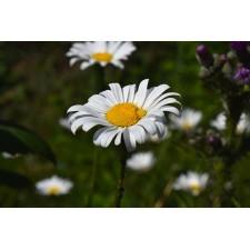 Eau Florale - Camomille Romaine Bio