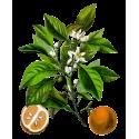 Huile essentielle de petit grain bigarade oranger