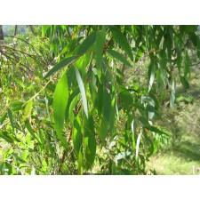 Huile essentielle d'eucalyptus radiata