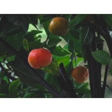 Huile essentielle de mandarine rouge