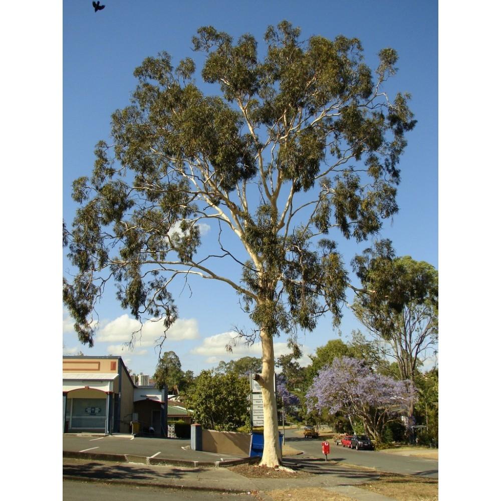 Eucalyptus Citriodora Bio