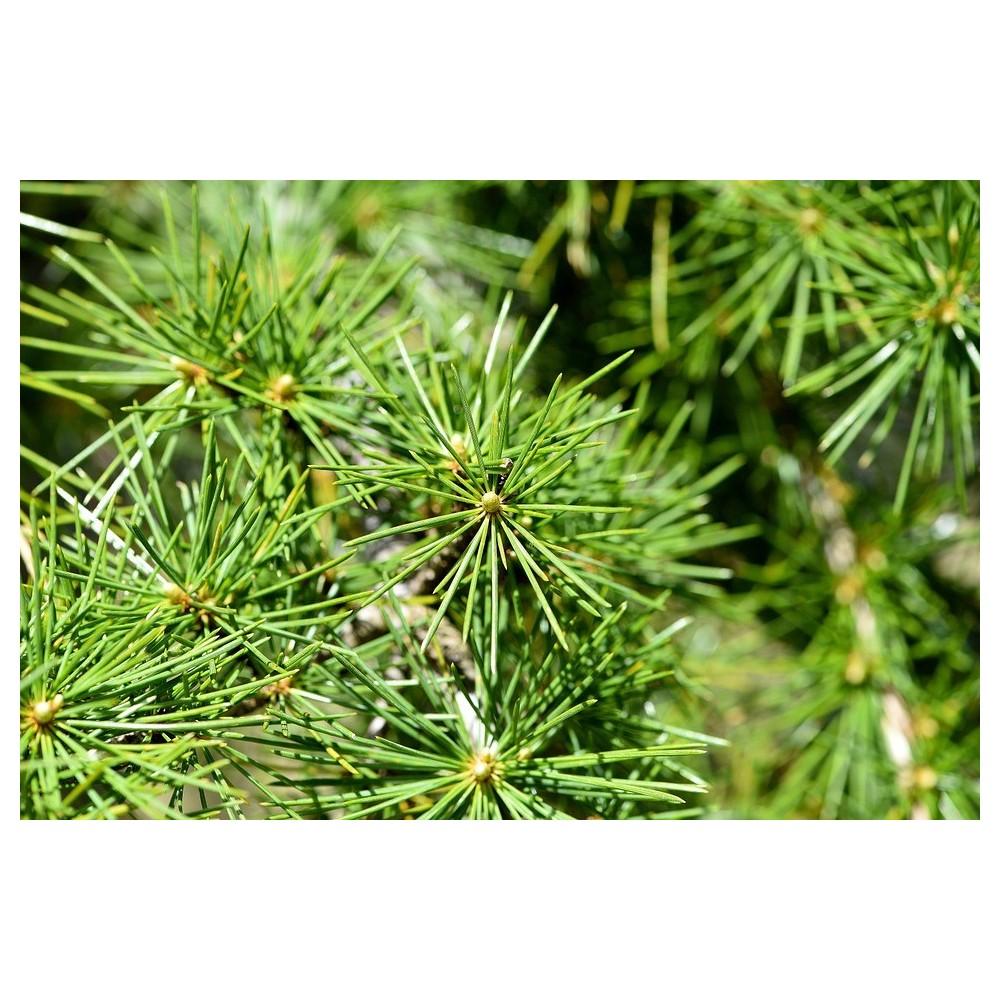 Huile Essentielle de Cèdre bois Bio 30 ml